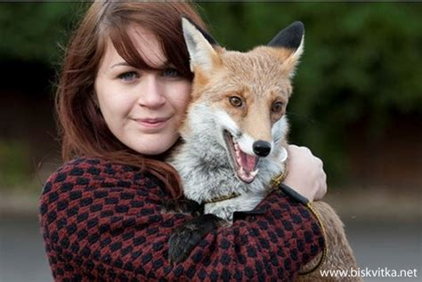 fox as pet fox as a pet 187 biskvitka net animal and pets pinterest