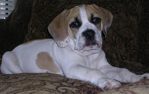 list  bulldog mix breed dogs