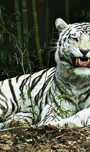 Animals Zoo Park: White Tiger Wallpapers for Desktop Free