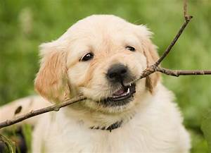the ultimate guide to golden retriever puppies rover