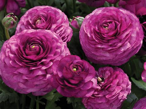 ranunculus winter perennials
