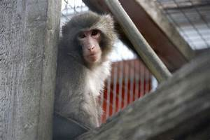 Darwin The Ikea Monkey  Primate Sanctuary Getting Evicted