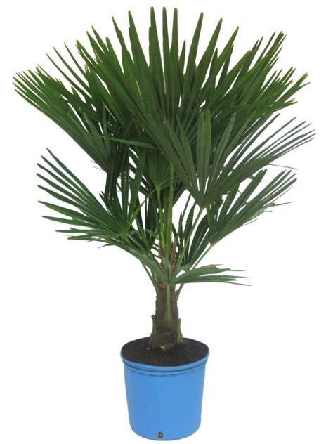 chinesische hanfpalme pflege die hanfpalme im garten oder als zimmerpflanze beides ist m 246 glich