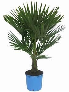 Bambus Pflege Zimmerpflanze : palmen f r balkon 6 winterharte palmen sonstiges f r den ~ Michelbontemps.com Haus und Dekorationen