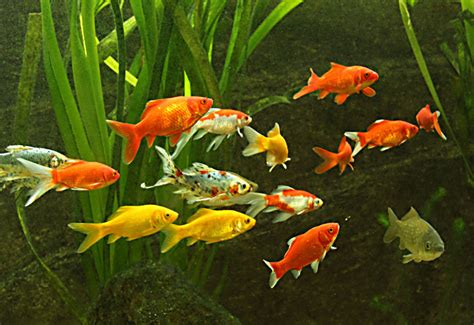 was fressen goldfische die fische kaltwasser aquarium