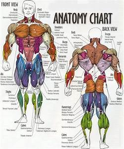 Printable Muscular System Diagram