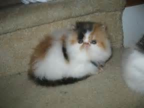 munchkin cat rescue munchkin cats for in ga about animals