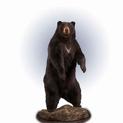 Bear Standing Taxidermy Mount Kanati Bb112 Base