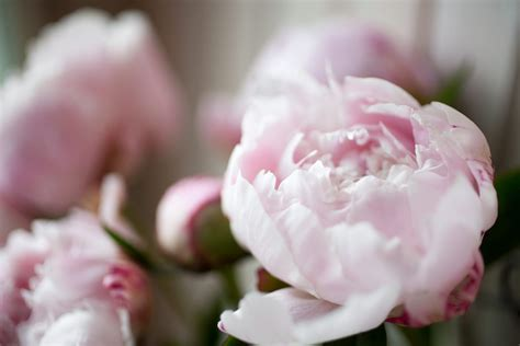 significato dei fiori ortensia margherita il significato di questo fiore ohga