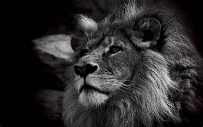 Lion Screensavers Ipad Wallpapers Air Retina Mini