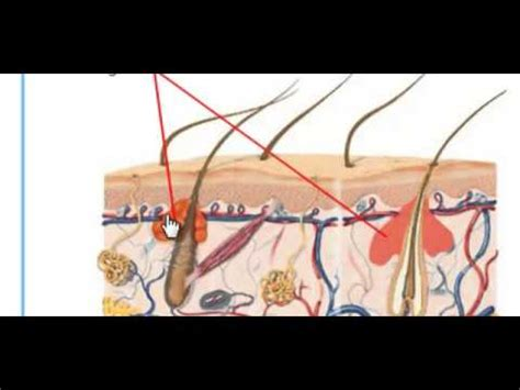 human integumentary system youtube