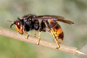 Asian  U0026 39 Killer U0026 39  Hornets Heading To Uk Via France Expected To Slaughter Hundreds Of Wild Bees