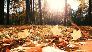 Fallen, Yellow, Leaves, On, The, Ground, In, The, Forest, Sun, Shining, Through, The, Trees, On, Dried, Autumn