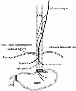 Lower Esophageal Sphincter Relaxation And Activation Of