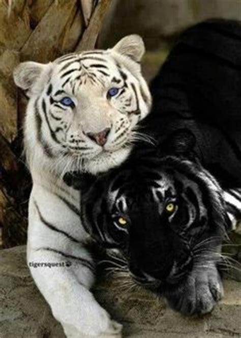 Albino Melanistic Animals Pinterest Tigers