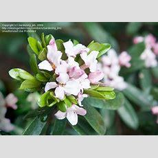 Plantfiles Pictures Daphne 'eternal Fragrance' (daphne X