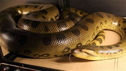 Anaconda Snakes Anacondas Adult Wallpapers13 Species Resolution