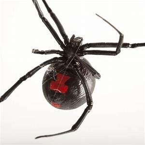 The Black Widow Spider – WeNeedFun