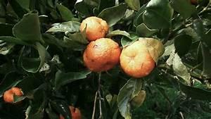 Mandarino    Arbol De Mandarinas - Citricos
