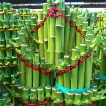 tanaman bambu hoki love bibitbungacom