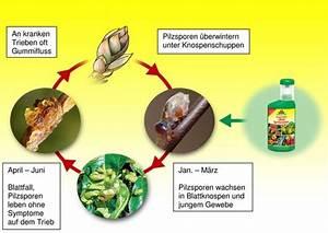 Mittel Gegen Kräuselkrankheit : aktuell pfirsiche gegen die kr uselkrankheit vitalisieren ~ Lizthompson.info Haus und Dekorationen