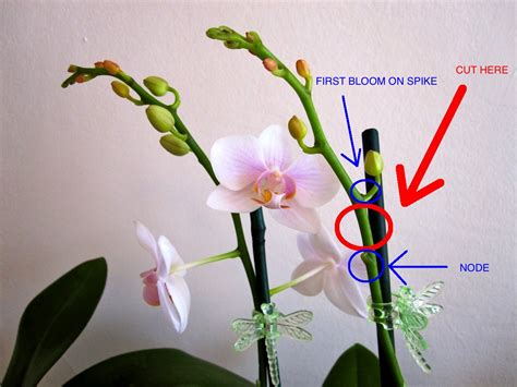 how do i prune an orchid how to cut a phalaenopsis orchid spike brooklyn orchids