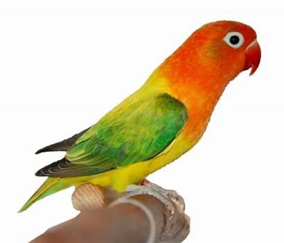 Lovebird Burung Gambar Bird Kartun Lutino Mutation