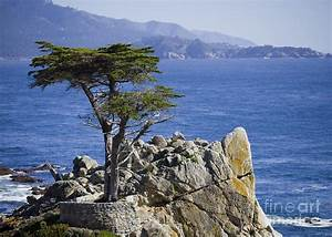 Lone Cypress Tree Photograph by B Christopher