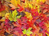 Maple Leaf Fall Colors