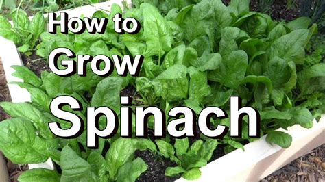 Growing Spinach In Kitchen Garden Acegardener