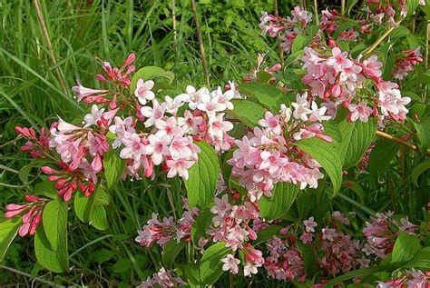 flowering hedges florida lovely summer flowering shrub for gardens weigela florida