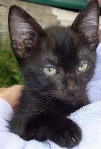 black cat ears black cat ears by bombpressure on deviantart