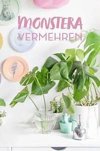 Monstera Deliciosa Ableger : diy pflanzenliebe monstera vermehren tipps plants plant decor und green plants ~ Eleganceandgraceweddings.com Haus und Dekorationen