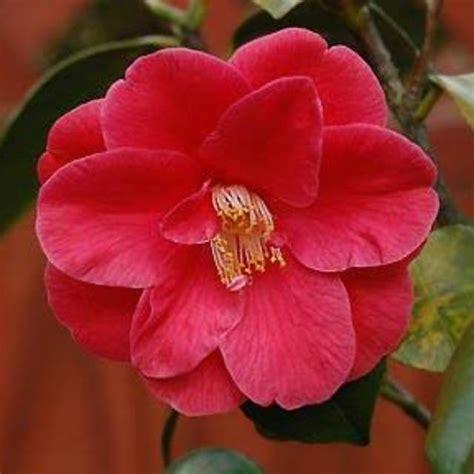 15+ Gambar Bunga Camelia Merah Galeri Bunga HD