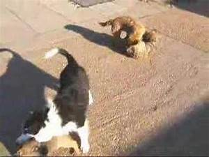 PLAYTIME WITH THE BORDER TERRIERS - YouTube