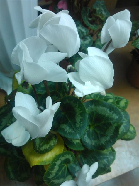 Cyclamen Plant Care: growing tips, cutting, planting ...