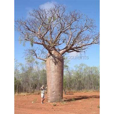 Australian Succulents - Adansonia gregorii -> Calandrinia