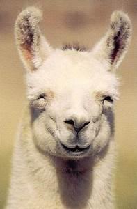 Smiling Llama. I love llamas lol | Things that make me ...