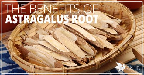 benefits  astragalus root updated