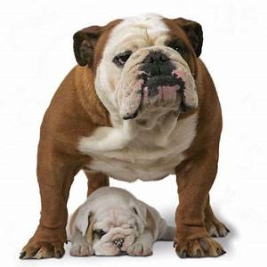 Royal Canin Bulldog : royal canin bulldog adult free p p on orders 29 at zooplus ~ Frokenaadalensverden.com Haus und Dekorationen