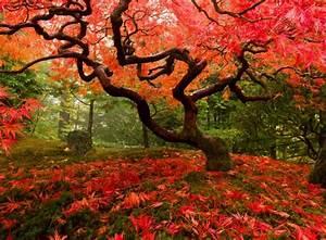 Japanischer Ahorn Farbenfrohe Gartengestaltung