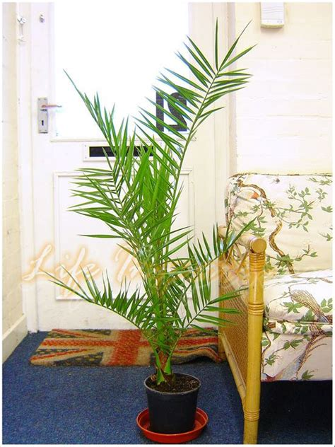 canariensis en pot 1 canariensis canary island date palmier en pot jardin ext 233 rieur plantes ebay