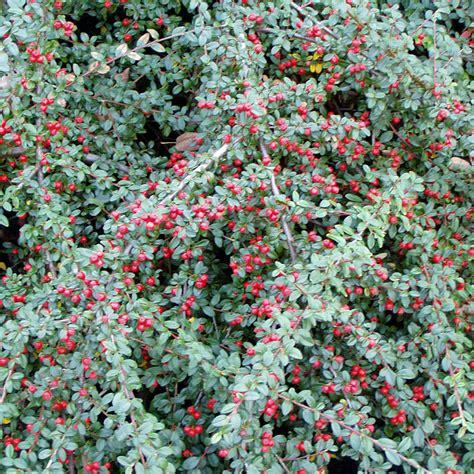 die kriechmispel cotoneaster dammeri coral beauty