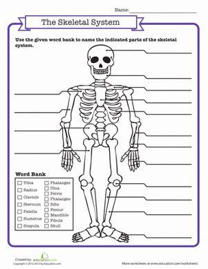 Skeletal System Quiz  Worksheet Educationcom