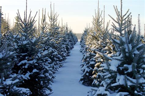 find your christmas tree fresh from the farm the cottage journal