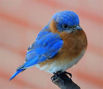 Bluebird Wallpapers Eastern