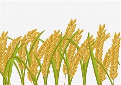 Rice Paddy Field Wheat Grain Cartoon Clipart