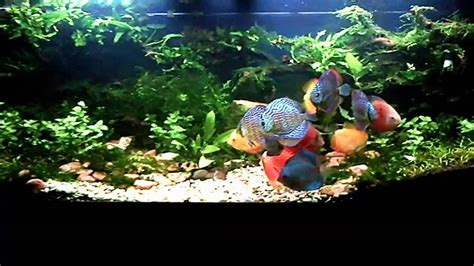 Discus And Aquascape (july 2013) Youtube