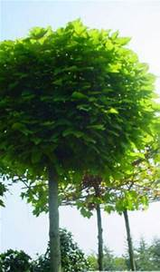 Catalpa Bignonioides Nana : de cultivar catalpa bignonioides 39 nana 39 heet in het ~ Michelbontemps.com Haus und Dekorationen