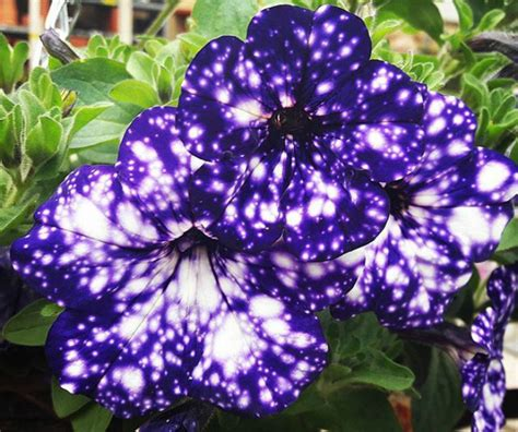 Cool Product Alert The Petunia Sky Plant by These Galaxy Flowers Look Like A Starry Sky